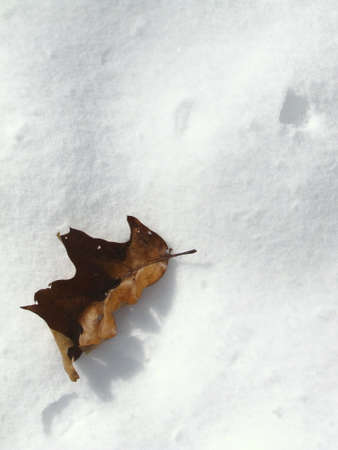 a leave on a a layer of snow