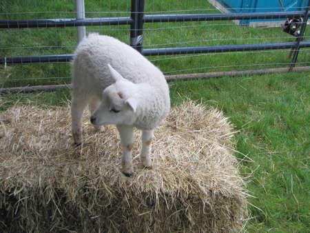 Lamb on hey Stok Fotoğraf