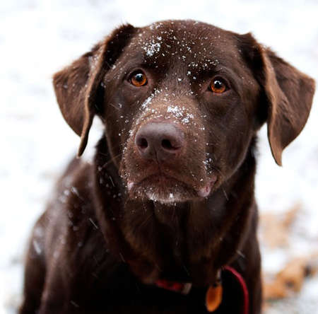 duck hunting: Chocolate Labrador Playing in the Snow Stock Photo