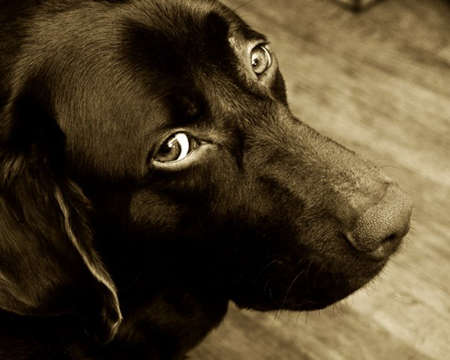 Black Labrador  Pity Eyes photo