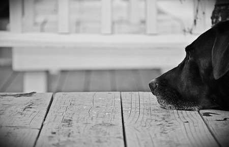 front porch: Black Lab Resting on Porch