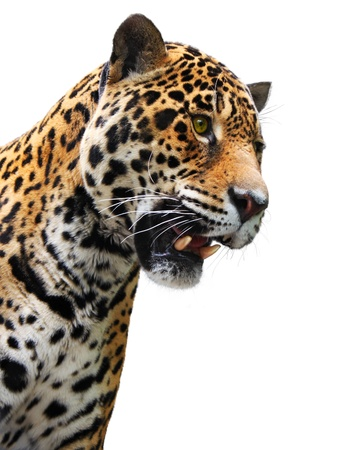 Jaguar head isolated. Wild animal showing teeth, white background