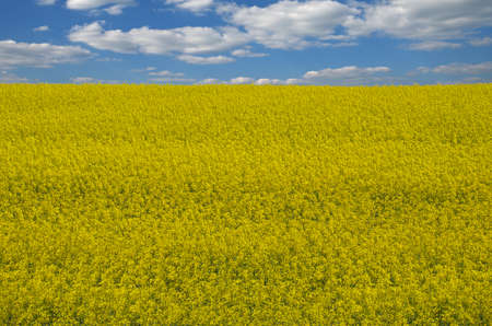 Field sown oilseed rapeseed at the time of maximum flowering.