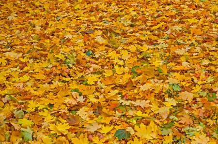 Colorful fallen foliage in a city park late September.