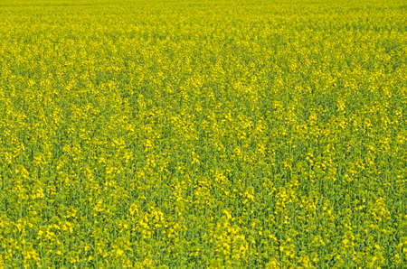 Field sown oilseed rape at the time of maximum flowering