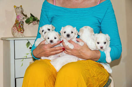 Woman gently holds little maltese puppies in her bosom