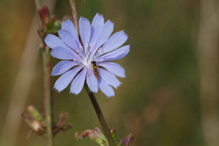 chicory flower: Beautiful blue chicory flower with insect in summer. Stock Photo