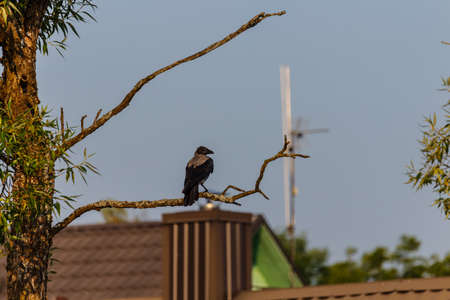 ornitology: Beautiful raven on the branch in summer. Trakai, Lithuania. Stock Photo