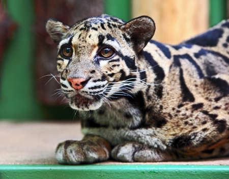 clouded leopard: Clouded leopard in ZOO cage