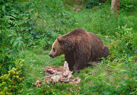 The brown bear eating a buck photo