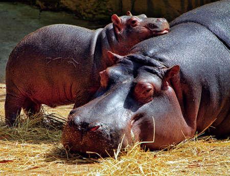 animales safari: Hipopótamo madre y un bebé Foto de archivo
