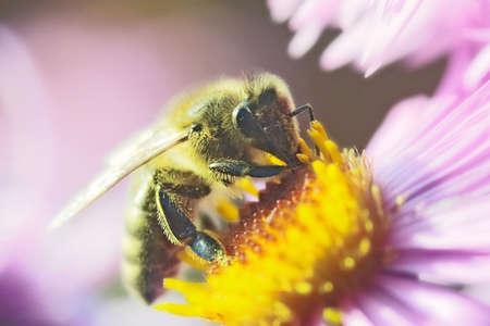Honeybee Stock Photo - 12764791