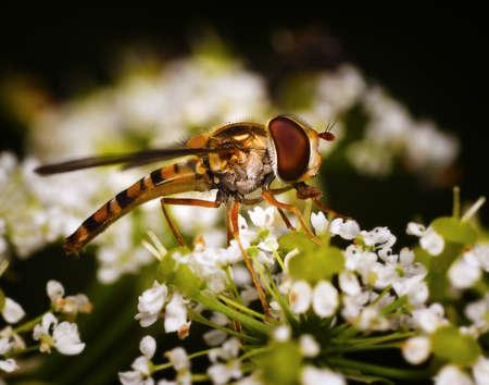 Nectar eating flower fly Stock Photo - 12917977