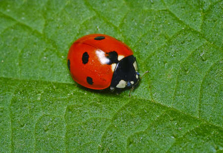 lady beetle: Macro portrait of the ladybug  Stock Photo