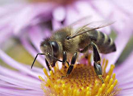 Honeybee on a autumn flower Stock Photo - 12965583