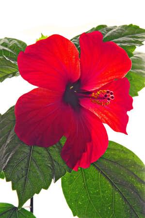 rosemallow: Rose mallow closeup