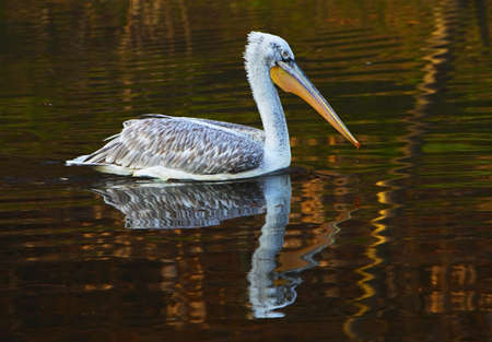 Crested pelican Stock Photo - 13251181