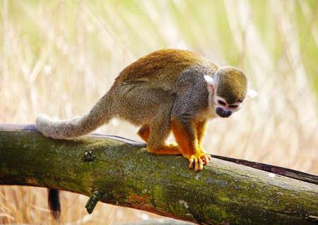 sciureus: Common squirrel monkey  Saimiri sciureus   Stock Photo