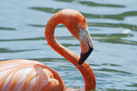 Cuban flamingo  Phoenicopterus ruber ruber  in bath  photo