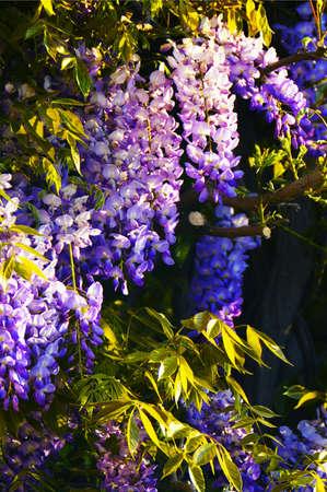 Violet and rose wisteria closeup