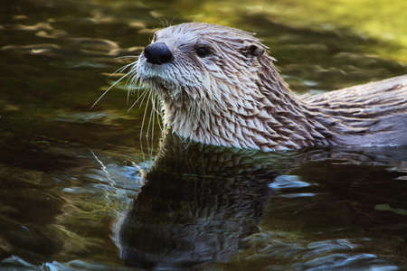 Eurasian Otter  Lutra lutra , a species of semiaquatic mammals