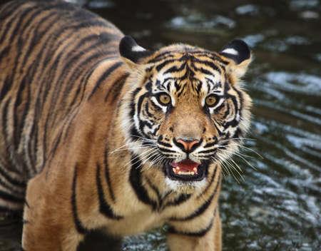 Sumatran tiger cub in the stream photo