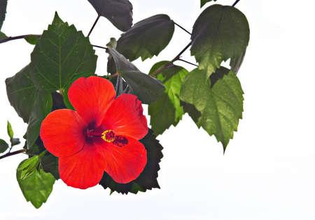 rosemallow: Rose mallow  hibiscus rosa-sinensis  close up Stock Photo