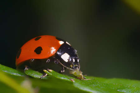 Macro portrait of the ladybug eating greenfly Stock Photo