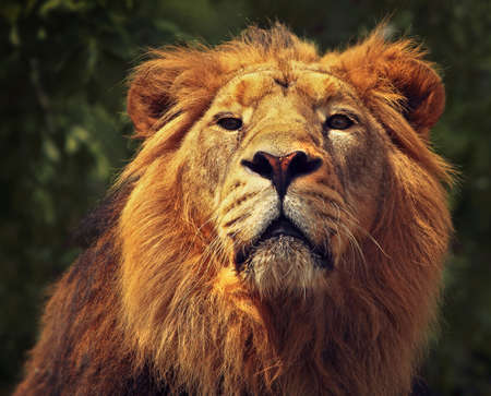 The lion  Panthera leo , a big member of the family Felidae