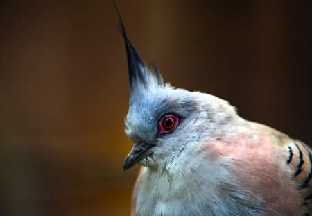 notch: The Crested Pigeon, commonly known as the Top Notch Pigeon