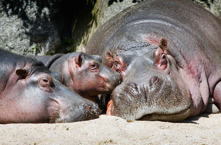 Hippopotamus mother, father and a baby resting photo