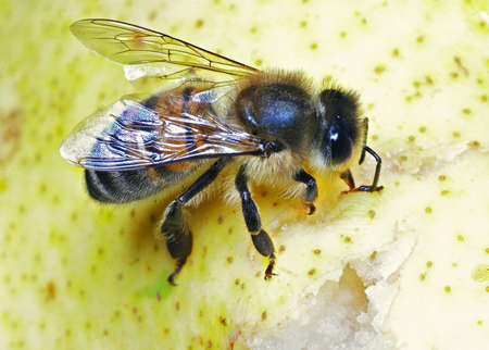 The honey bee collecting sweet juice from a pear Stock Photo - 15735985