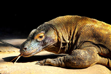 species living: Komodo dragon  Varanus komodoensis , largest living species of lizard, Stock Photo