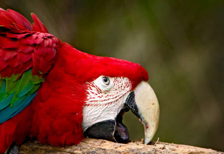 green winged macaw: The portrait of a Green winged macaw parrot Stock Photo