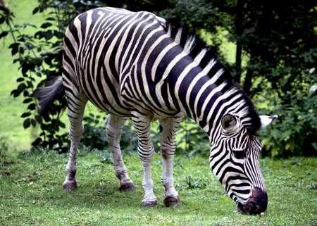 chapman's: The Chapmans Zebra   Equus quaga chapmanni   grazing