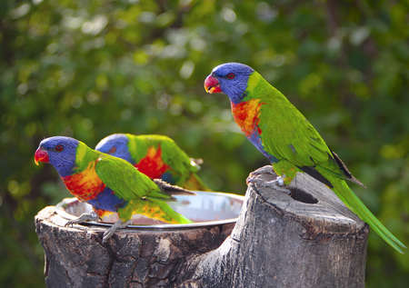 The Sunset Lorikeet Australasian parrot group feeding photo