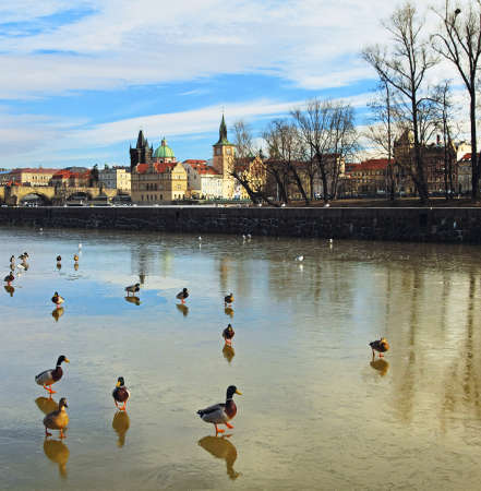 Wild ducks on winter river in Prague Stock Photo - 17767616