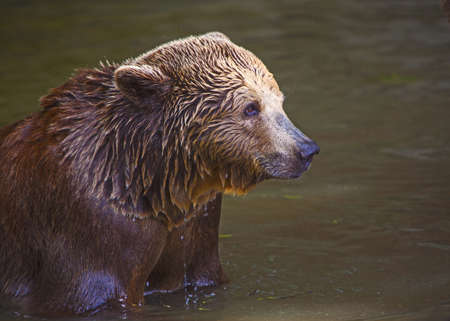 The detail of brown bear cub in water photo