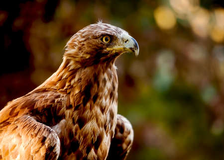 aquila: Golden Eagle  Aquila chrysaetos , one of the best known birds of prey in the Northern Hemisphere Stock Photo