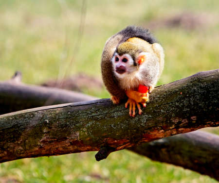 Common squirrel monkey, small primate native to the tropical areas of South America