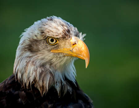 head down: Bald Eagle  Haliaeetus leucocephalus , a bird of prey found in North America