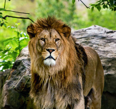 Lion, portrait of the king of beasts Stock Photo