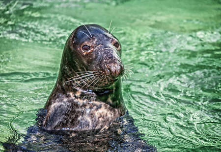 The young grey seal close up portrait