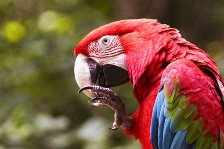 green winged macaw: The portrait of a big parrot from South America Stock Photo