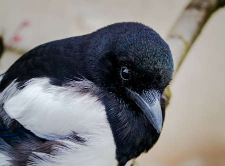 pica: Close up of a Common Magpie, Pica pica Stock Photo