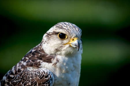 falconidae: Close up of the face of a falcon Stock Photo