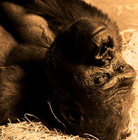 The portrait of a young gorilla ape photo