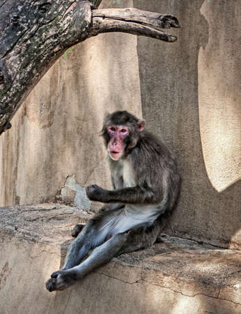 The resting Japanese macaque in ZOO pen