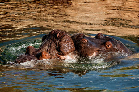 africa kiss: Two kissing hippos in the evening river