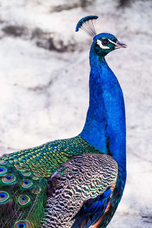 long neck: Closeup of peacock with the long neck